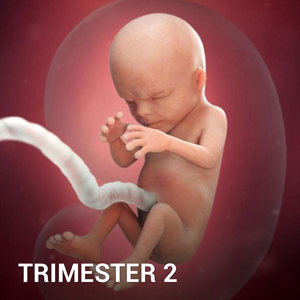 Samen Zwanger - Trimester 2